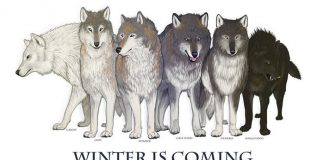 Game Of Thrones Kurtları (Direwolves) ve Akibetleri